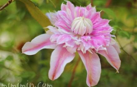 クレマチス・ジョセフィーヌの花の写真