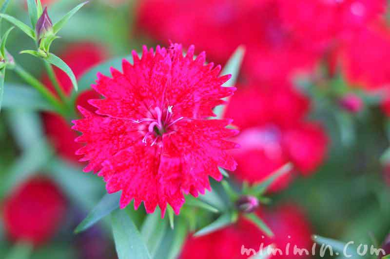 撫子(赤)の画像