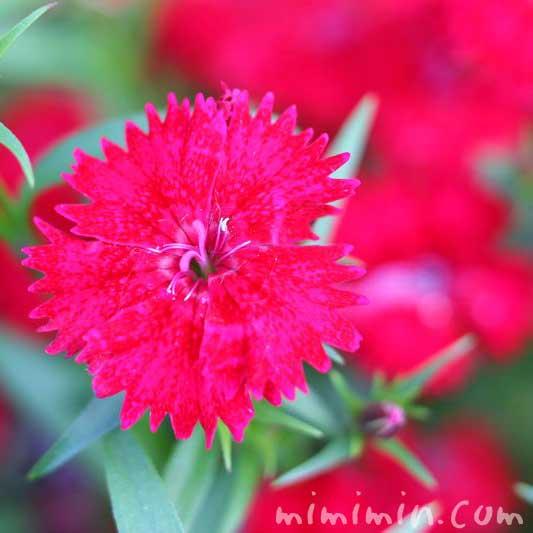 赤いナデシコ(撫子)の花の写真