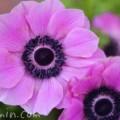 アネモネ(赤紫)の画像