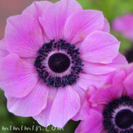 赤紫のアネモネの花の写真