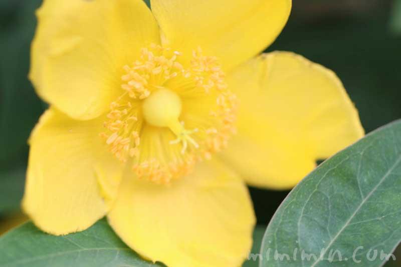 キンシバイの花の写真・花言葉・名前の由来の画像