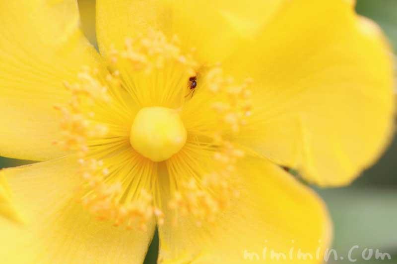 キンシバイの写真・花言葉・名前の由来・誕生花の画像