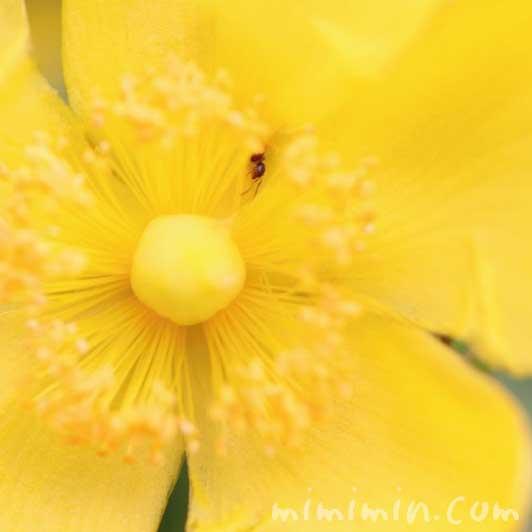 金糸梅の写真と花言葉・誕生花の画像