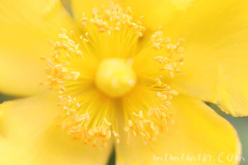 キンシバイの花の写真・花言葉・名前の由来・誕生花の画像