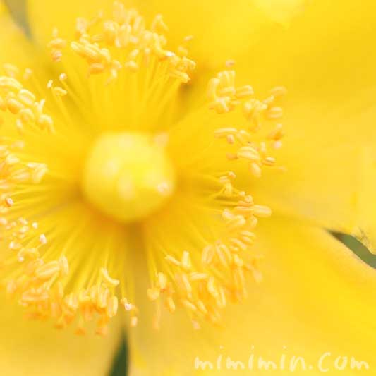 キンシバイの写真・花言葉・名前の由来の画像