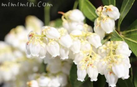 アセビの花(白)の画像