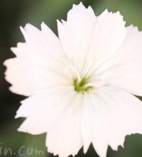 ナデシコの花の写真・花言葉