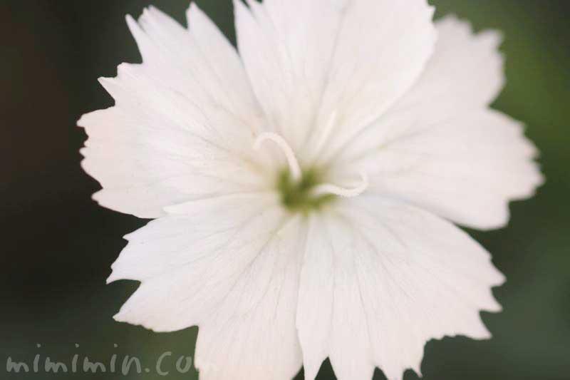 白いナデシコの花の画像