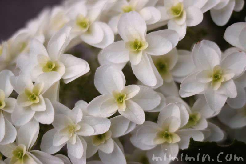 柏葉紫陽花の画像