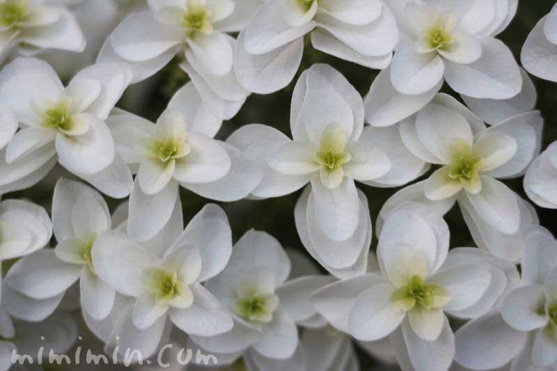 柏葉紫陽花の花の写真