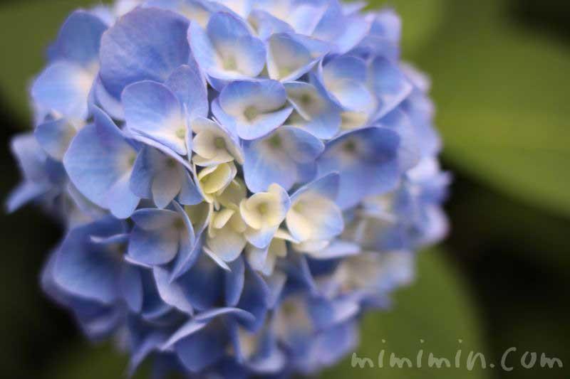 紫陽花(ブルー)の写真
