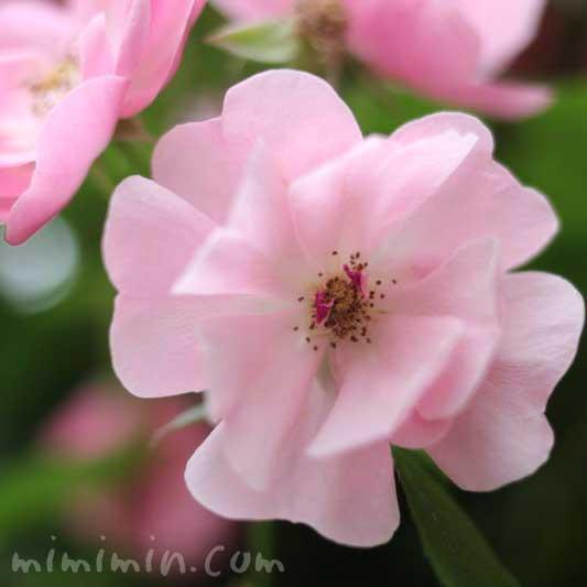 蔓薔薇の写真