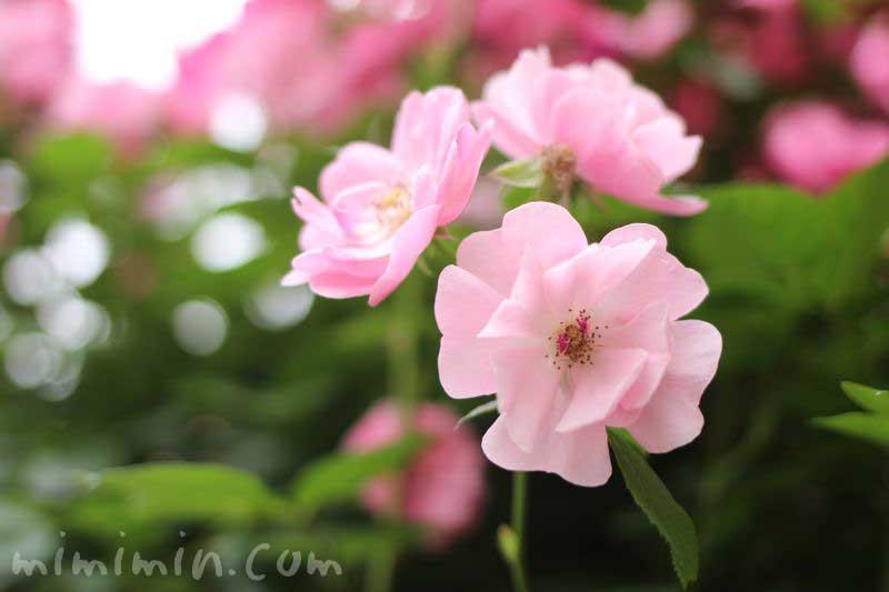 つるバラ(ピンク)の画像