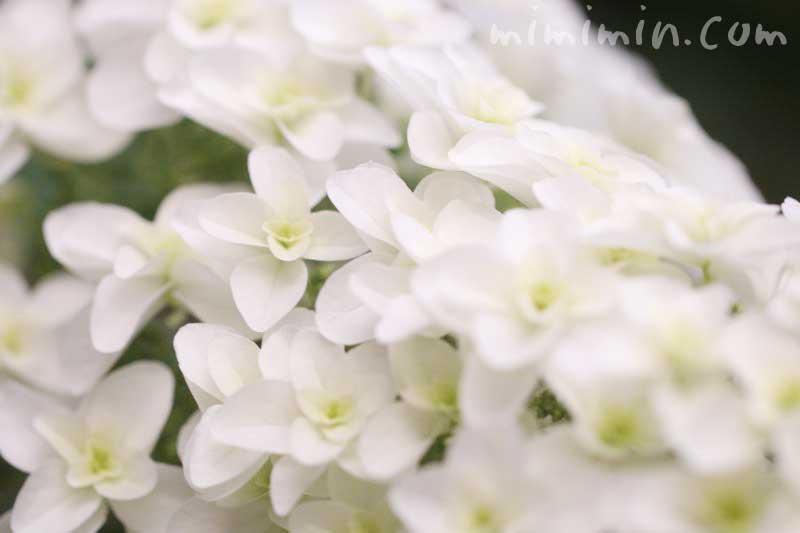 カシワバアジサイの花言葉の写真