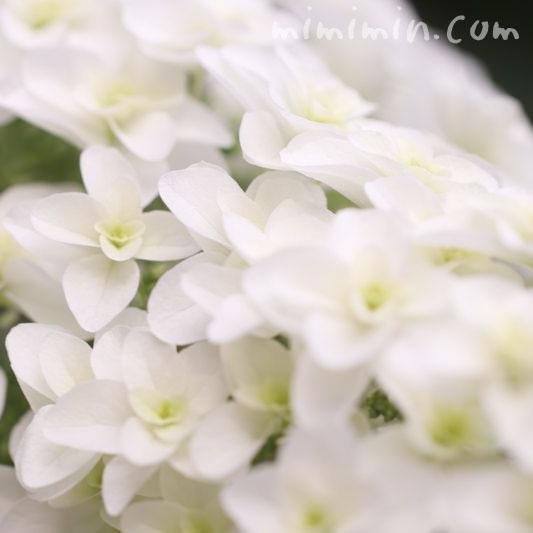 柏葉アジサイの花の画像