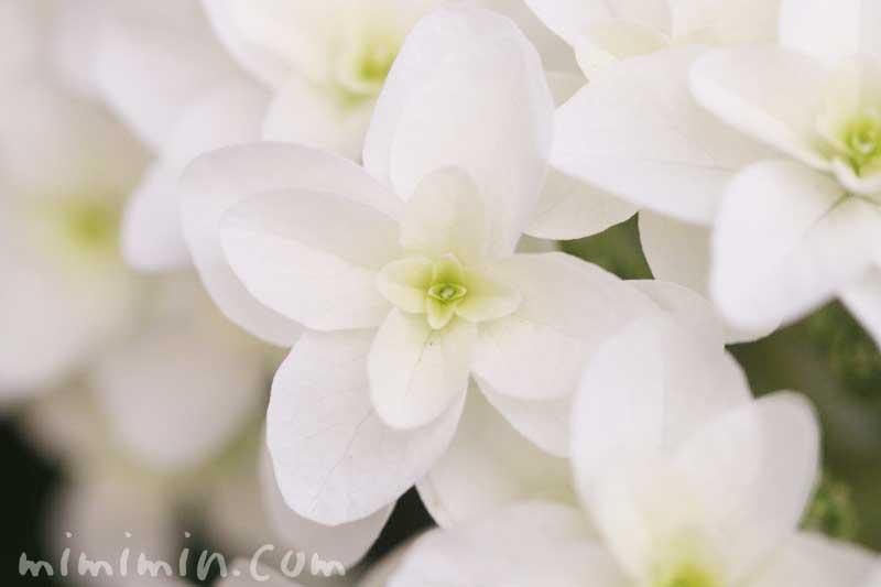カシワバアジサイの花言葉