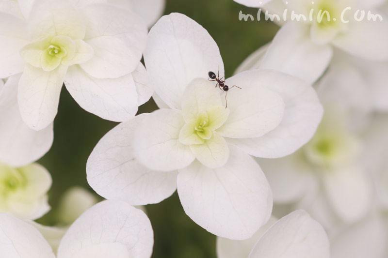カシワバアジサイの誕生花の写真