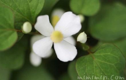 ドクダミの花の写真