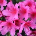 サツキ(皐月)の花の写真