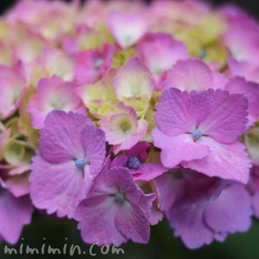 紫陽花(ピンク)の写真