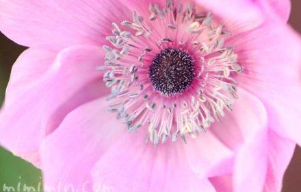 ボタンイチゲ(牡丹一華)の花