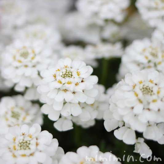 イベリスの花の写真