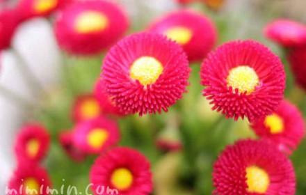 赤いデージーの花の画像