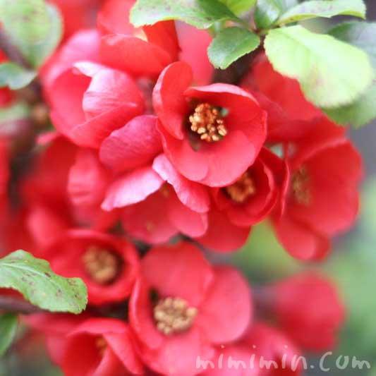 赤いボケの花の画像