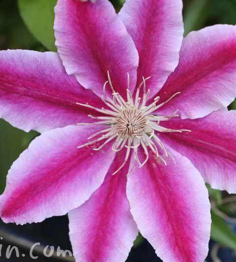 クレマチスの花の写真・花言葉