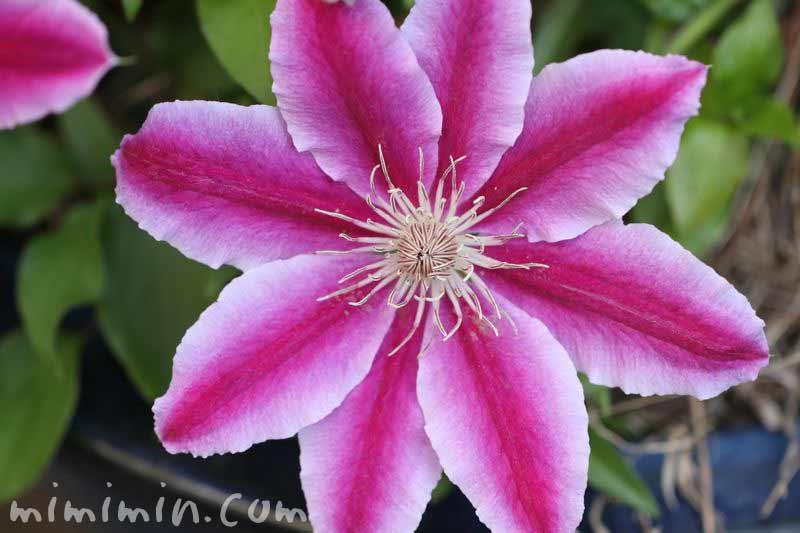 クレマチスの花・ピンクの写真