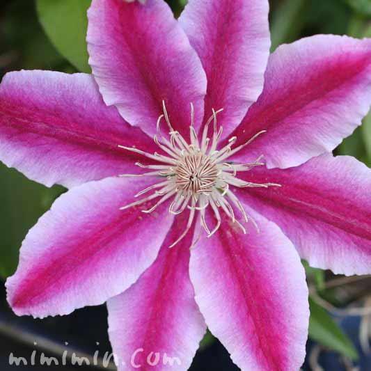 クレマチスの花言葉の画像