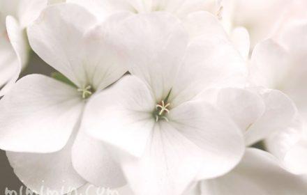 ゼラニウムの花・白の写真
