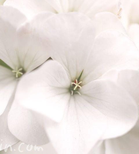 ゼラニウムの花言葉(色別)と誕生花