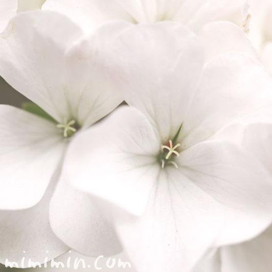 白いゼラニウムの花の写真