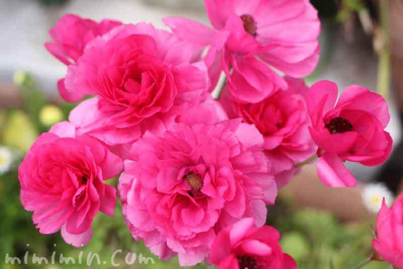 アネモネ(ピンク)の画像