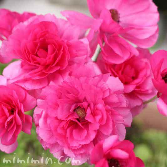 アネモネの花(ピンク)の写真