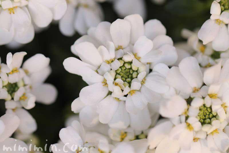 白いイベリスの写真