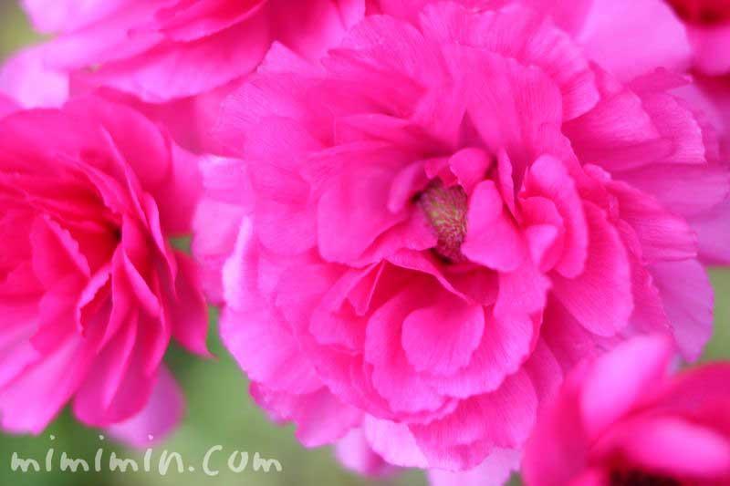 ピンクのアネモネの花の画像