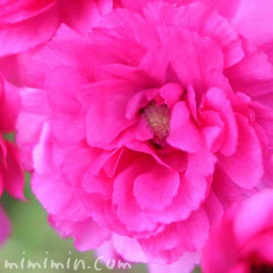 ピンクのアネモネの写真