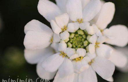 白いイベリスの花の画像