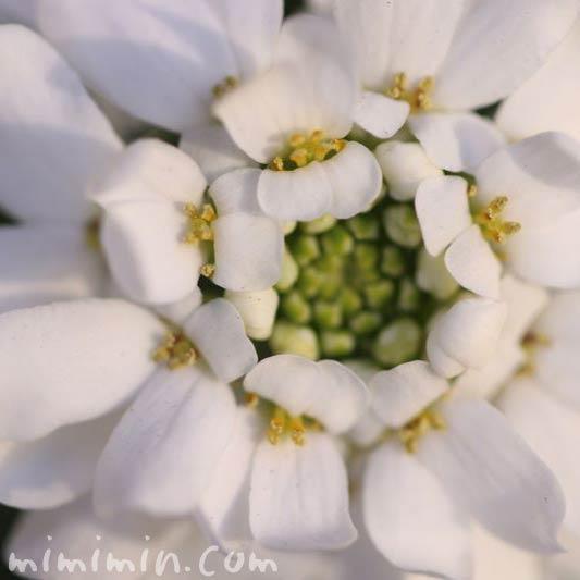 キャンディタフトの花の写真