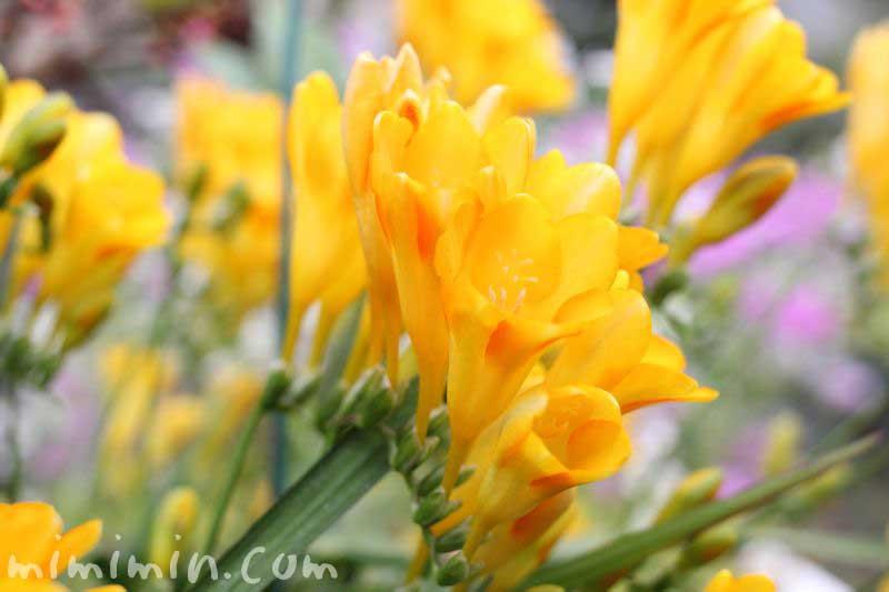 黄色いフリージアの画像
