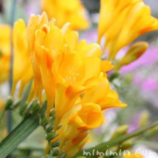 黄色いフリージアの花の写真