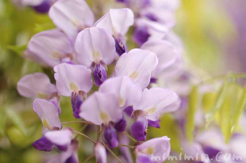 藤(紫色)の画像