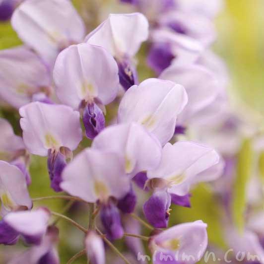 フジの花の写真