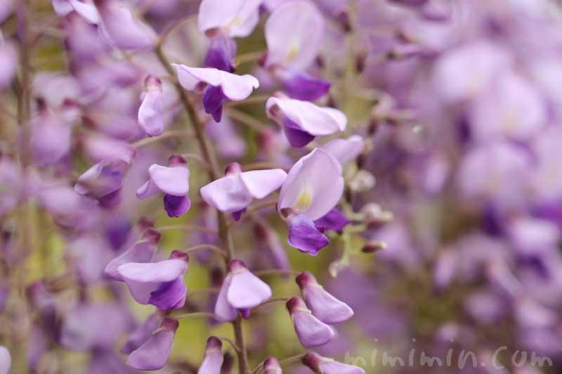 フジの花(紫色)の画像