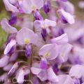 フジ(紫色)の画像