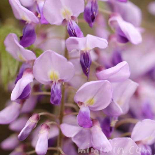 藤の花(紫色)の写真