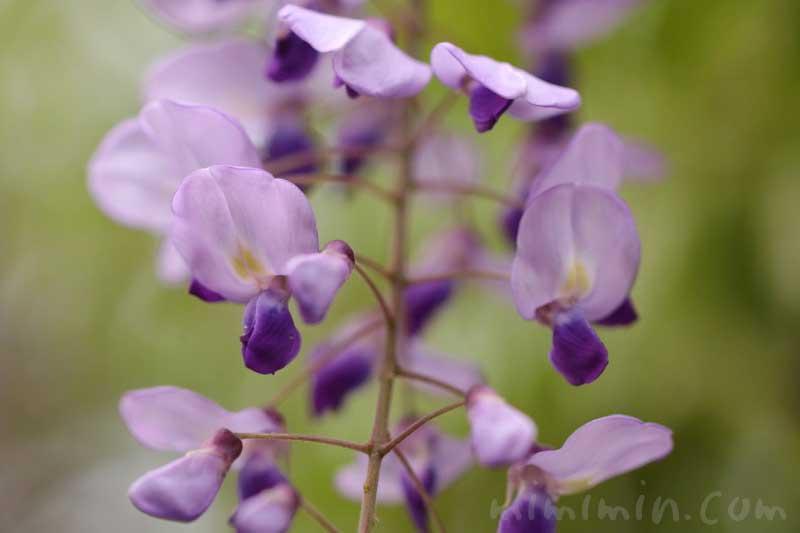 フジの花(紫)